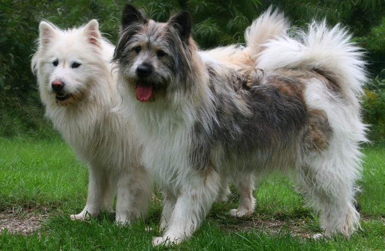 Собаки Эло