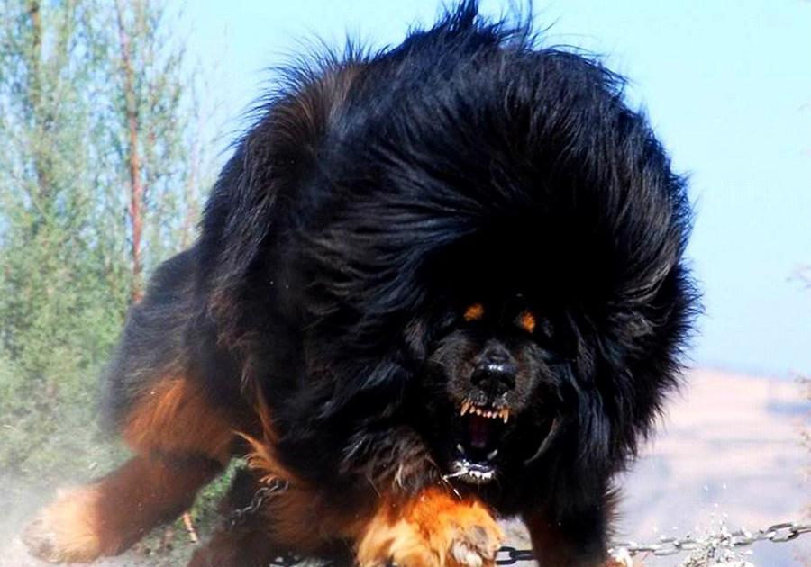 Фото тибетский мастиф на аву