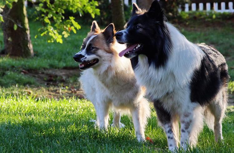 2 собаки Эло