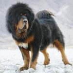 Тибетский мастиф: характеристика породы и характера, фото