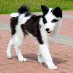 Якутская лайка: описание породы, характер, фото
