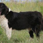 Болгарская овчарка: описание и история породы, характер, фото