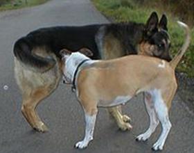 Почему собаки нюхают друг у друга под хвостом