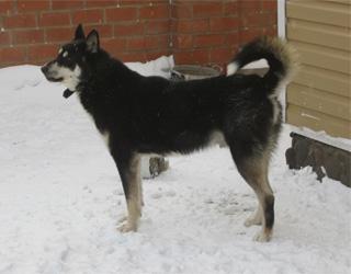Восточно-сибирская лайка в снегу