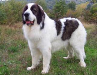 Болгарская овчарка на природе