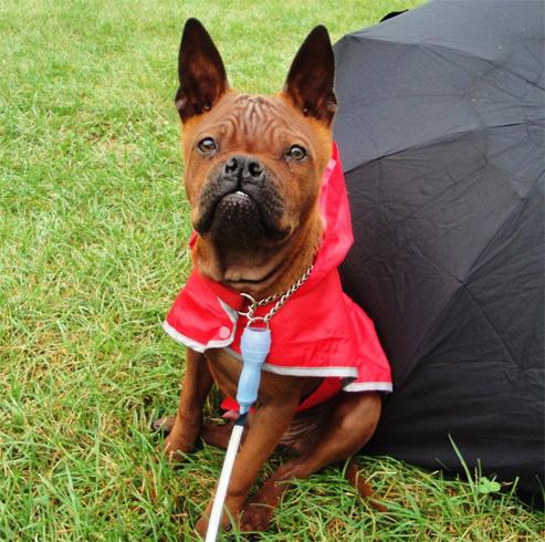 Красивая китайская собака чунцин