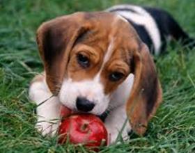 Яблоки собакам