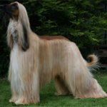Афганская овчарка: описание породы и характера, фото