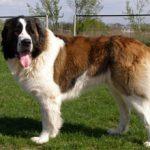 Московская сторожевая собака — характеристика породы и фото