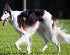 Русские псовые борзые собак