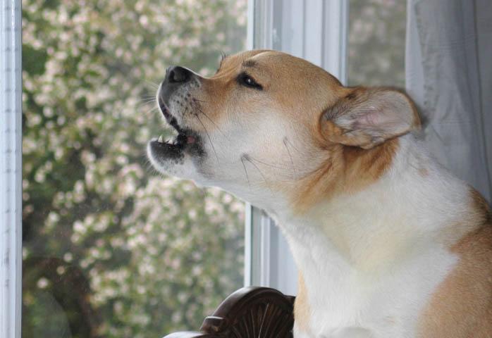 Собака лает в окно