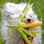 Кукуруза для собак: можно ли давать, польза и вред