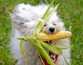 Кукуруза для собак