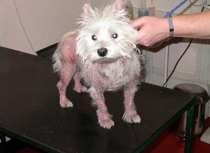 Собака с дерматитом