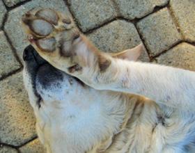 Почему собаки дергают лапой, когда их чешешь
