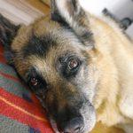 Инсульт у собаки: признаки, симптомы лечение