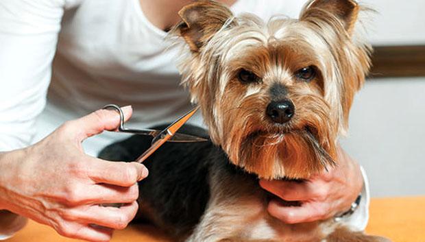 Собаке собираются стричь усы