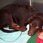 Парвовирусный энтерит у собак: симптомы, лечение и профилактика