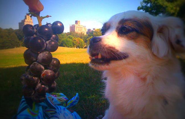 Виноград собаке