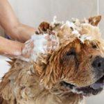 Можно ли мыть собаку человеческим шампунем?