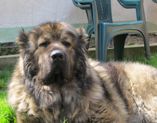 Кавказская овчарка - внешность