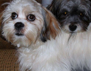 Лхаса Апсо - две собачки