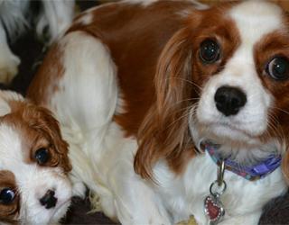Кинг чарльз спаниель - две собаки