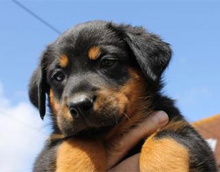 Босерон щенок