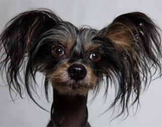 Китайская хохлатая собака - мордочка
