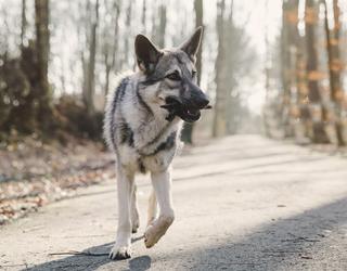 Волчья собака Сарлоса идет по дороге