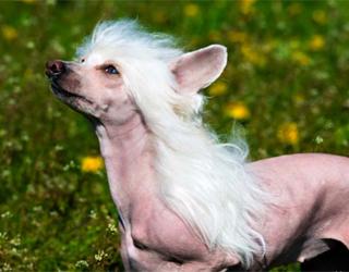 Китайская хохлатая собака смотрит вверх