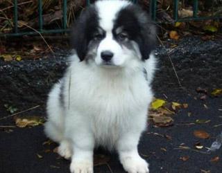Буковинская овчарка - щенок