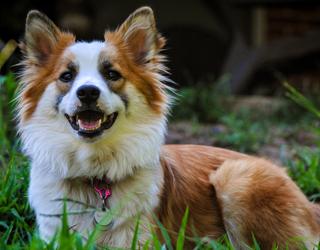 Исландская собака - лицо