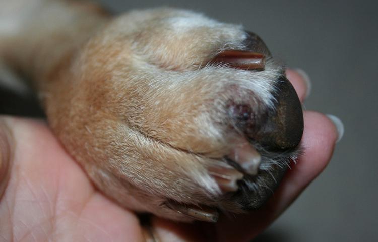 У собаки отекла лапа в суставах методика массажа задней поверхности плечевого сустава