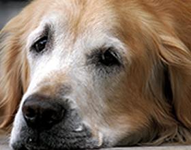 Пиометра у собак