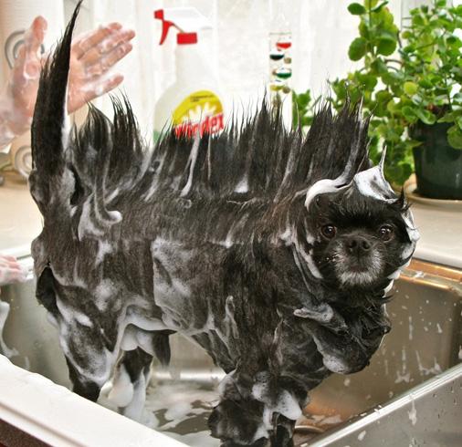 Собака во время мытья