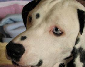 Ячмень на глазу у собаки