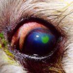 Язва роговицы глаза у собак: причины, лечение и что делать