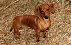 Такса: характеристика, уход и содержание породы (с фото), Все о собаках