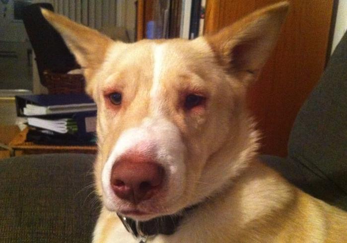Собака с отекшими глазами