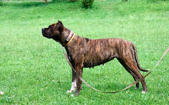 Бриндизская бойцовая собака на травке