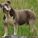Староанглийский бульдог: фото, описание и характеристика породы, уход