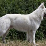 Белая швейцарская овчарка: описание породы и характера, фото