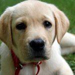 Анемия у собак: симптомы и лечение болезни