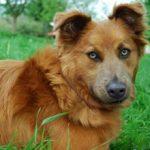 Баскская овчарка: фото, описание и характеристика породы, уход