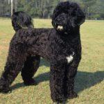 Португальская водяная собака (Кан-диагуа) — описание, характеристика, фото