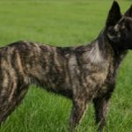 Голландская овчарка: описание, характер, фото