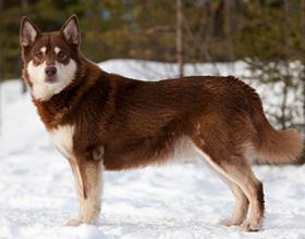 Лопарская оленегонная собака