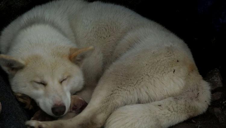 Гренландская собака спит