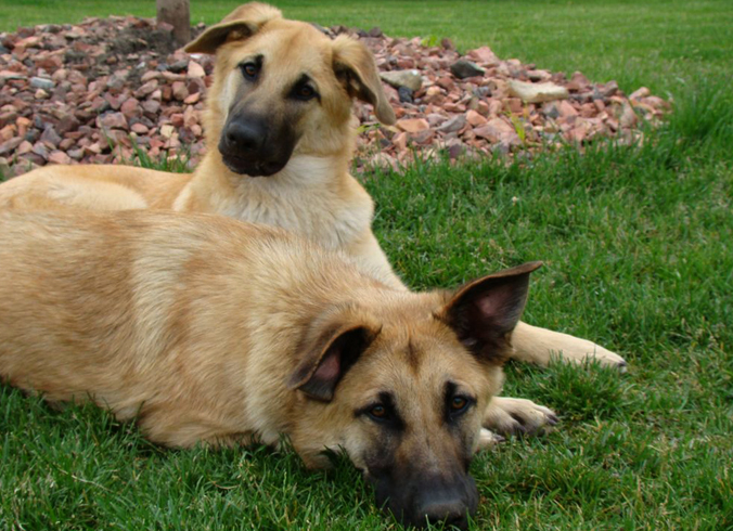 Чинук - две собаки